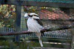 A portrait of kookaburra in the zoo Stock Photography