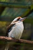 A portrait of kookaburra in the zoo Stock Photos