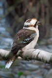A portrait of kookaburra in the zoo Stock Image