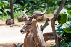 Portrait of Kudu Antelope Royalty Free Stock Images