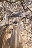 Portrait of a Kudu (Antelope) Royalty Free Stock Photos