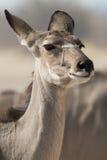Portrait of a Kudu (Antelope) Stock Photography
