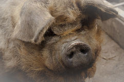 Portrait of kunekune pig Royalty Free Stock Image