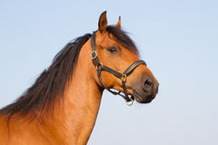 Portrait of a KWPN'er. Portrait of a brown KWPN horse Royalty Free Stock Images