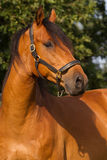 Portrait of a KWPN horse. Portrait of a brown KWPN horse Royalty Free Stock Photography