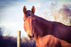 Portrait léger de cheval de créancier de baie Image libre de droits