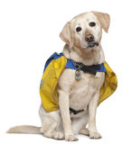 Portrait of Labrador, 4 years old, wearing bags Royalty Free Stock Photo