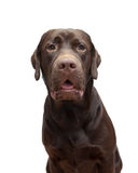 Portrait labrador chocolate color on a white background Stock Photos
