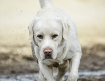 Portrait of labrador closeup Royalty Free Stock Image