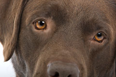 Portrait of labrador dog Stock Image