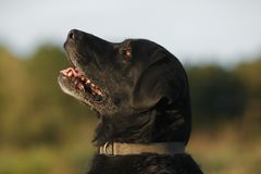 Portrait - profile of a black labrador-retriever dog stock images