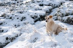 Portrait of a Labrador dog in winter Stock Photography
