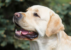 Portrait of labrador Royalty Free Stock Photo