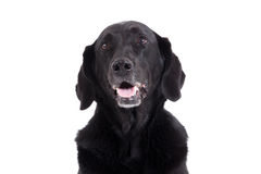 Portrait of labrador. Happy dog photographed in the studio on a white background royalty free stock image