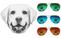 Portrait of Labrador with mirror sunglasses. Stock Images
