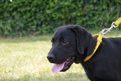 Portrait of a labrador puppy. Portrait of a puppy labrador retriever in the field of adult Stock Photography
