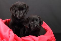 Portrait of a labrador puppy Royalty Free Stock Photo