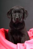 Portrait of a labrador puppy. Studio portrait of a labrador puppy Stock Image