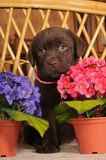 Portrait of labrador puppy Stock Image