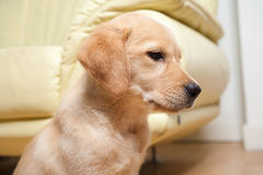 Portrait of a Labrador puppy Royalty Free Stock Images