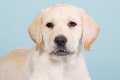 Portrait of a labrador puppy on a baby blue background. Portrait of a yellow labrador puppy on a baby blue background Royalty Free Stock Photography