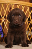 Portrait of labrador puppy brown color Stock Image