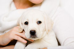 Portrait of Labrador puppy on the hands of woman Stock Photos