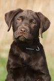 Portrait of a labrador puppy. Portrait of a 12 weeks old labrador puppy Stock Images