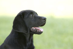 Portrait of a labrador puppy Royalty Free Stock Photos