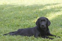 Portrait of a labrador puppy. Portrait of a young black labrador puppy Royalty Free Stock Photos