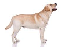 Portrait of labrador-retriever Stock Photography
