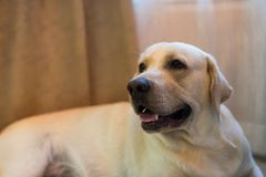 Portrait of Labrador retriever in living room. Portrait of Adorable Labrador retriever dog inside living room with copy space for text. Human best friend in Royalty Free Stock Image
