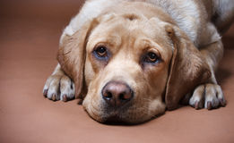 Portrait of a Labrador. Labrador retriever, 12 months old, ligging in front of bruin background Royalty Free Stock Photos