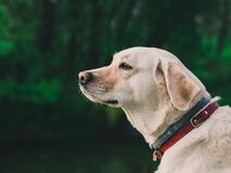 Portrait of Labrador Retriever outdoors Royalty Free Stock Photos