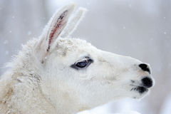 Portrait of a lama. In winter Royalty Free Stock Images