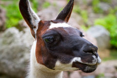 Portrait of the lama Stock Photography
