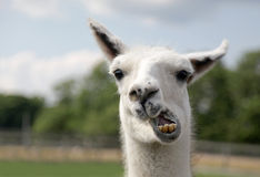 Portrait of lama. Portrait of white lama chewing in countryside Stock Image