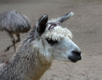 Portrait of the lama. The portrait of the lama Royalty Free Stock Images