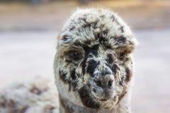 Portrait of Lama Alpaco. Royalty Free Stock Photo