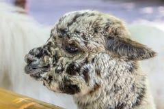 Portrait of Lama Alpaco. Royalty Free Stock Image