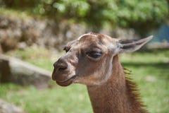 Portrait of lama animal Royalty Free Stock Images