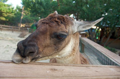 Portrait of a Lama. Close up Royalty Free Stock Image