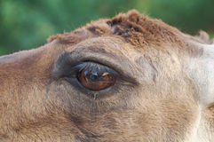 Portrait of a Lama Stock Photos
