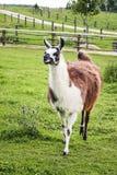 Portrait of lama Stock Image