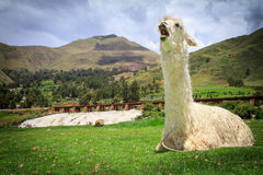Portrait of a lama on farm. Royalty Free Stock Images