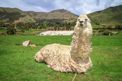 Portrait of a lama on farm. Stock Photo