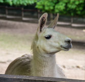 Portrait of a lama into a a farm Royalty Free Stock Photography