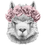 Portrait of Lama with floral head wreath. Stock Photo