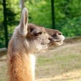 Portrait of lama glama Stock Images