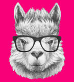 Portrait of Lama with glasses. Hand drawn illustration Royalty Free Stock Photo